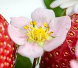 Erdbeerblüte :)
