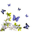 isolated blue cherry blossom and butterflies