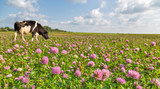 cow on pink clover flowers meadow