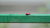 ladybird walking