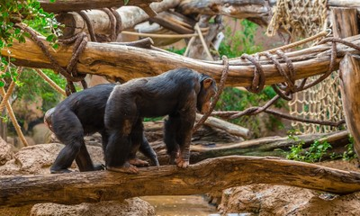 Couple of chimpanzees walking over a tree to cross a river