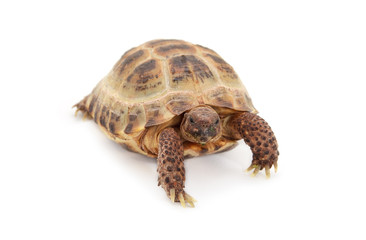 Russian Asian tortoise over white