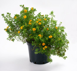 Potentilla fruticosa Hopley's Orange in a pot - cinquefoils