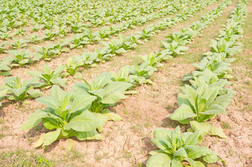 Tobacco plant in the field