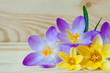 Beautiful crocus background.