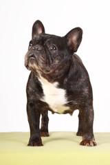Französische Bulldogge stehend im Studio