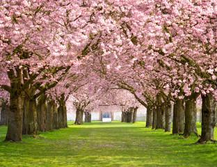 Kirschblüte im Park
