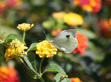 Cabbage White Butterfly on Yellow Lantana Flower