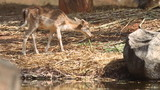 Hog deer eating grass food.