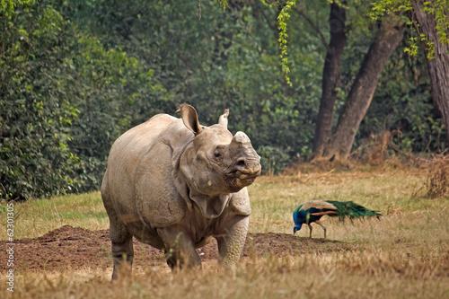 Foto op Canvas Neushoorn Indian rhinoceros