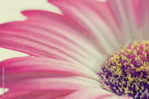 Foto op Canvas Madeliefjes Macro of a pink summer daisy