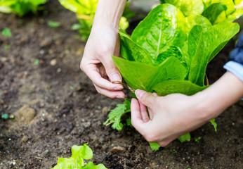 Cultivate lettuce