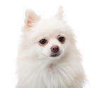 White pomeranian isolated