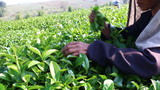 Harvesting green tea