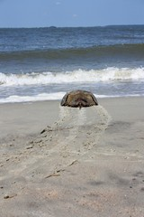 Horseshoe Crab on Its Way into the Ocean