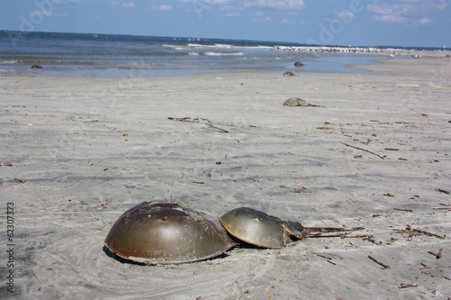 Mating Horseshoe Crabs on a Secluded Beach