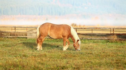 Beautiful brown horse with white hair grazing at morning