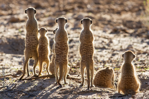 Leinwanddruck Bild Suricate family standing in the early morning sun looking for po