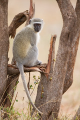 Vervet monkey sit on branch while forage for food in nature