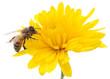 Obrazy na płótnie, fototapety, zdjęcia, fotoobrazy drukowane : Honeybee and yellow flower