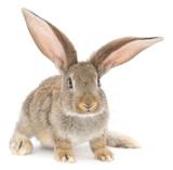 Rabbit - 62311318