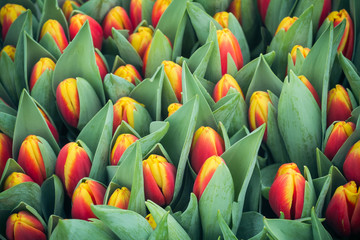 Romantic multicolor tulips background