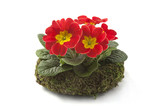 live primrose in a decorative wreath on the table