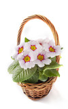 live primrose in a decorative basket on a white background