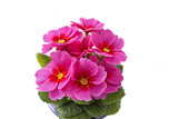 living pink primrose on white background