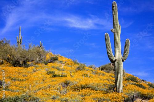 Spring Wildflowers and Saguaro - 62312167
