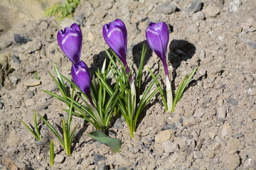 Spring time - crocuses