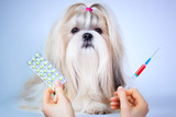 Shih tzu dog treatment