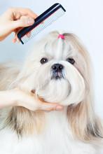 Shih tzu toilettage de chiens
