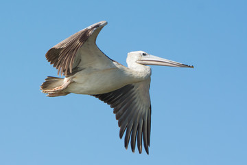 Pink-backed Pelican (Pelecanus rufescens) in flight