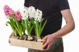 Man holding a box with hyacinth flowers isolated on white back