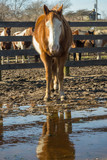 Horse with reflection in a puddle