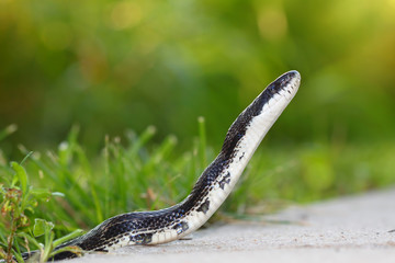 Rat Snake (Elaphe obsoleta)