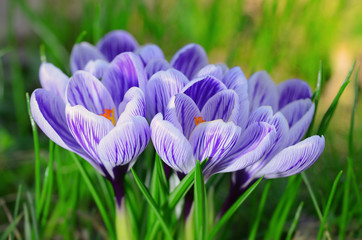 Crocus flower bloom in the field