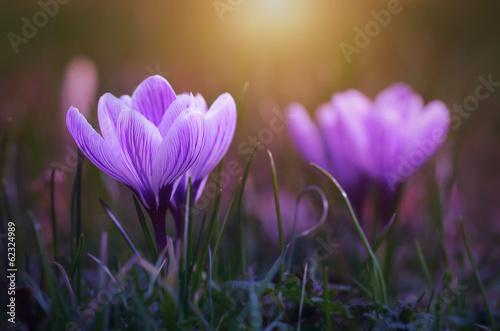 Fotobehang Krokus Crocus flower bloom in sunset