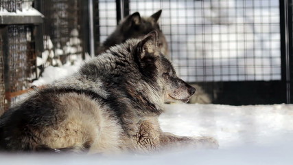 Portrait of a black Canadian wolves at the zoo