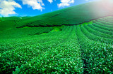 Beautiful fresh green tea plantation in vietnam