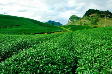 Beautiful fresh green tea plantation in vietnam