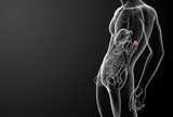 3d render adrenal anatomy - side view