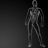 3d render adrenal anatomy - front view