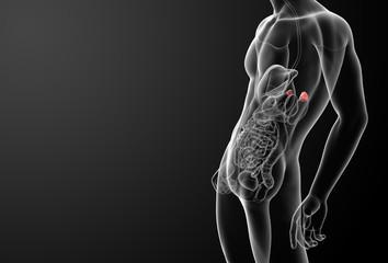 3d render adrenal anatomy - side view