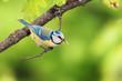 A blue tit (Cyanistes caeruleus) bird with a caterpillar