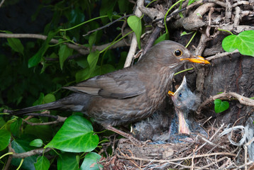 Common blackbird (Turdus merula) female at nest feeding chicks