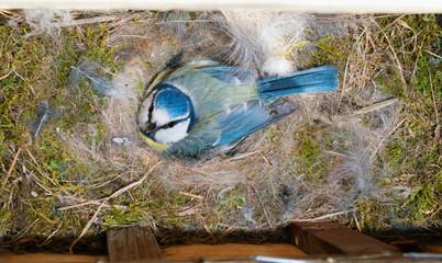 Blue Tit (Cyanistes caeruleus) at nest box incubating eggs