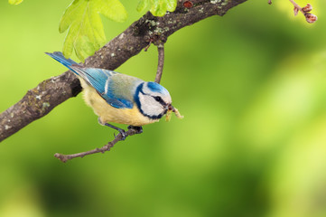 A blue tit (Cyanistes caeruleus) bird with a caterpillar