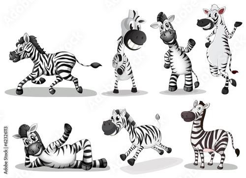 Playful zebras - 62326113